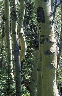 Lechebnye svojstva kory osiny