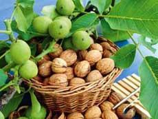 Орех грецкий (зеленый) и его целебные свойства