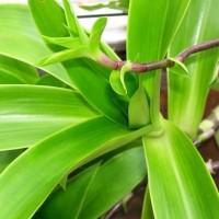 Суставчики и сочные листья кукурузки