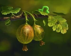 крыжовника ягоды