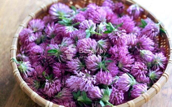 Цветки клевера применяют в народной медицине