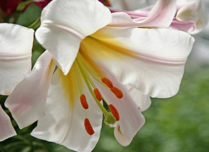 В чем польза белой лилии
