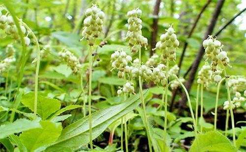 Ортилия тихо цветёт в лесной глуши