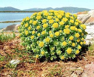 золотой корень - растение
