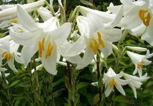 рецепты из белой лилии