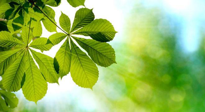 Листья конского каштана