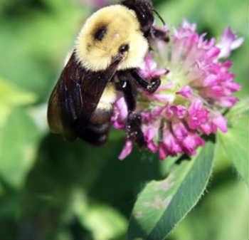_пчела на клевере