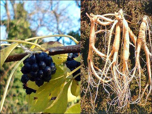 Для изготовления настойки пригоден только корень элеутерококка