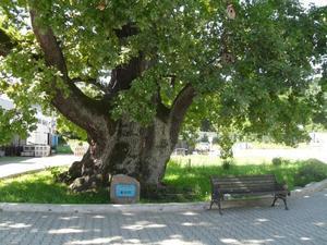 Грюнвальдский дуб в Ладушкине Калининградской области