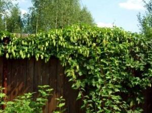 хмель обыкновенный на заборе