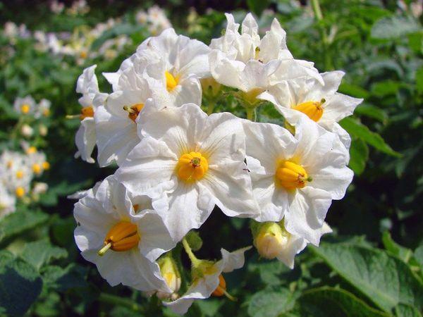 соцветие картофеля