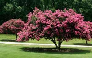 розовое дерево мирт