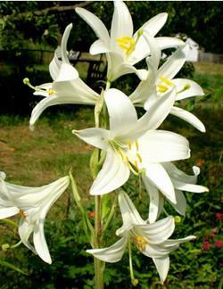 описание белой лилии