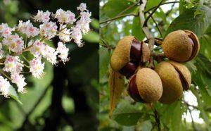 Цветение и плоды каштана