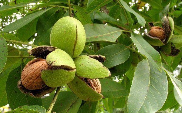 Кожура и листья грецких орехов