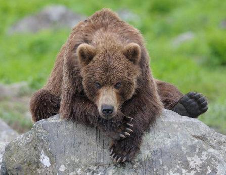 медведь на камне