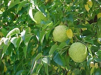 Маклюра - адамово яблоко