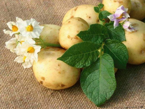 картофель и цветы