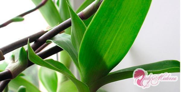 лечебные свойства Callisia Fragrance