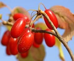 ягоды кизила для наливки
