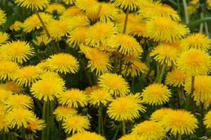 жёлтые одуванчики