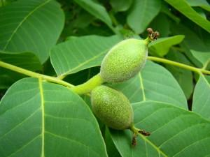 Польза листьев грецкого ореха при заболевания пищеварения