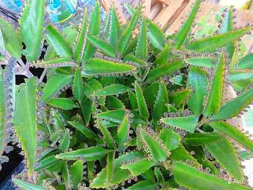 Для приготовления настойки используют листья и стебли