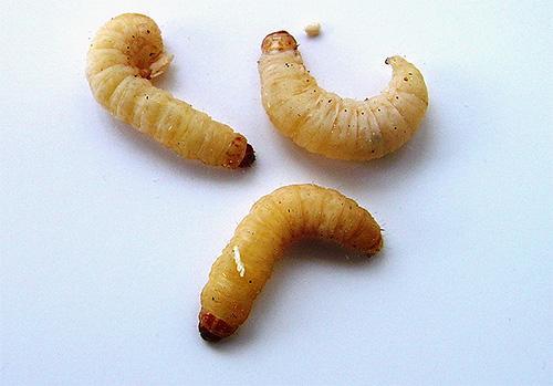 Личинки восковой моли
