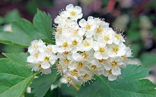 Нежные белые цветы боярышника