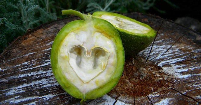 Настойка из зеленых грецких орехов – 6 лучших рецептов