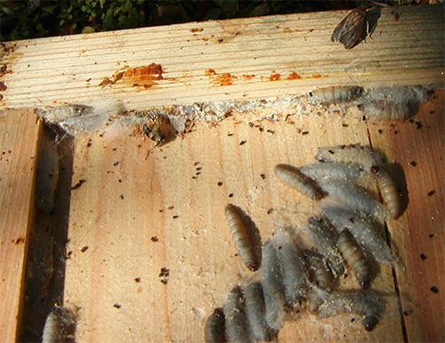 Восковая моль является вредителем пчелиных ульев, однако многие пасечники разводят ее специально