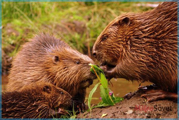 Фото: Бобры кушают травку