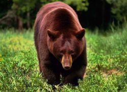 медвежья желчь применение