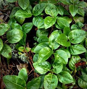 боровая матка трава фото в природе