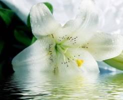 Настойка белой лилии