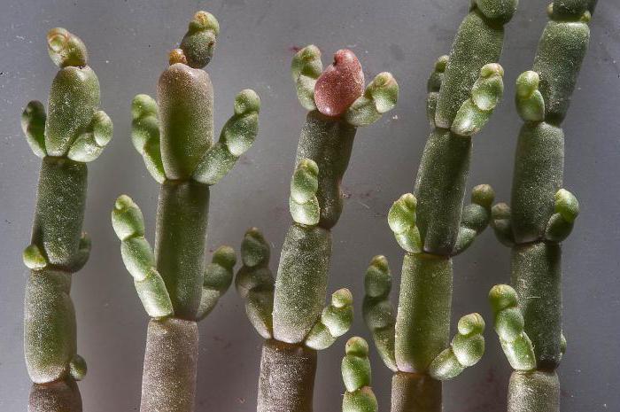 солерос трава применение для суставов