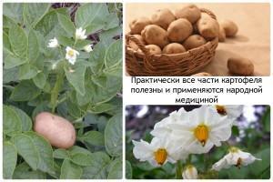 Практически-все-части-картофеля-полезны-и-применяются-народной-медициной