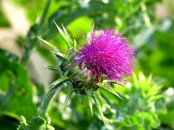 Особенно целебными считаются семена расторопши