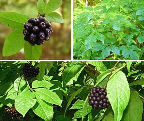 Плоды элеутерококка