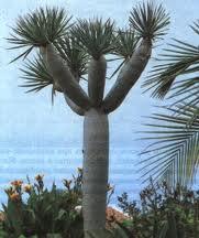 Ангостуровое дерево