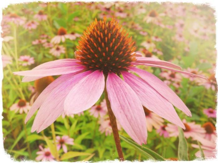 Цветок эхинацея