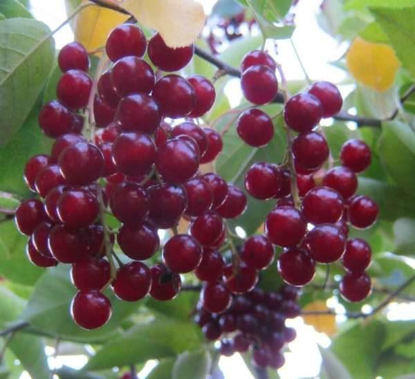 В ягодах виргинской черемухе содержится хлорогеновая кислота, которая обладает жиросжигающими свойствами