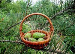 Настойка сосновых шишек на водке применение