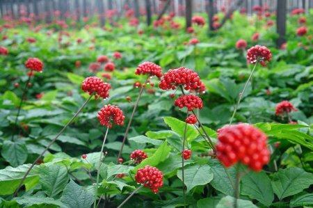 ягода женьшеня