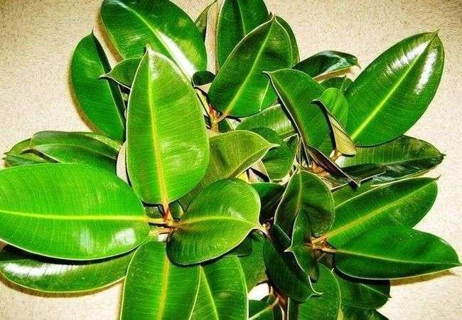 Народные рецепты лечения листьями фикуса