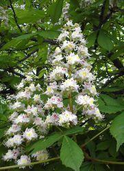 настойка из цветков каштана